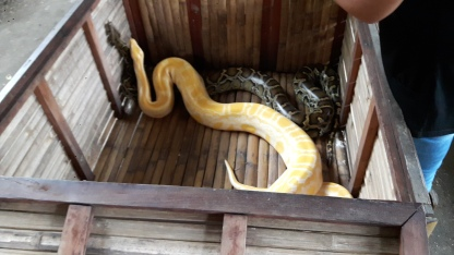 pet pythons